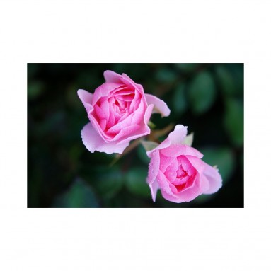 Hydrolat de Rose BIO - 200ml
