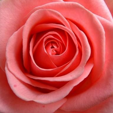 Rose poudre - 100 gr
