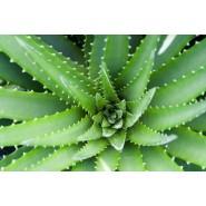 Aloe Vera poudre - 100 gr